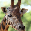 Giraffe - Photo
