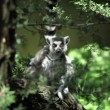 Lemur catta — Photo