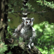Royalty-Free Stock Photo: Lemur catta