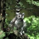 Lemur catta — Stock Photo #2392220