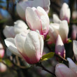 Foto Stock: Magnoliflowers