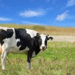 Royalty-Free Stock Photo: Patched cow on the meadow