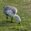 Goose on the meadow - Stock Photo