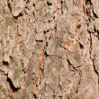 Pine bark  texture — Stock Photo