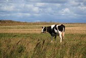 Cow on the pasture — Stock Photo