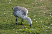 Goose on the meadow — Stock Photo