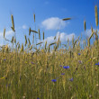 Rye field  with cornflowers — Stock Photo