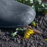 Farmer's boot crushing dandelion — Stock Photo #2167346