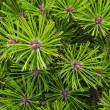 Pine needles background — 图库照片