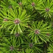 Pine needles background - Stock Photo
