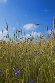 Rye field with cornflowers — Stock Photo