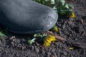 Farmer's boot crushing dandelion — Stock Photo