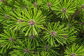 Pine needles background — Stock Photo