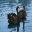 Black swans — Stock Photo #2203067