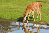 Female deer drinking — Stock Photo