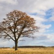 Autumnal oak — Stock Photo