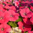 Stock Photo: Red petunias