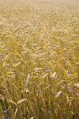 Corn field with cornflowers — Stock Photo