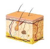 皮肤解剖 — 图库照片