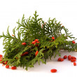 Stock Photo: Thujwith red barberry