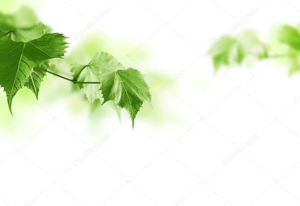 Green spring branch on a white background. — Stock Photo #1944129