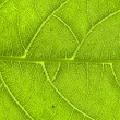 Extreme close up of green leaf veins — Stock Photo
