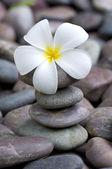 Fragipani on a stack of rocks — Stock Photo