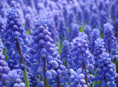 Muscari armeniacum or grape hyacinth — Stock Photo