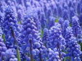 Muscari armeniacum or grape hyacinth — Stock Photo