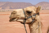 Camel in the desert — Stock Photo