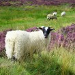 Sheep in the Scottish highlands — Stock Photo