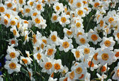 Field of daffodils — Stock Photo