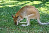 Kangaroo — Stock Photo