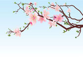 Sakura brunch spring — Stock Photo