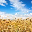 Stock Photo: Golden field