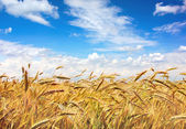Golden field — Stock Photo