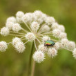 Figeater beetle - Stock Photo