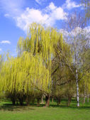 Blossoming willow — Stock Photo