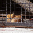 Stock Photo: Fox behind bars