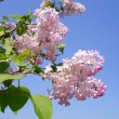 Blooms Lilac - Stock Photo