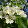 Blooms Pear - Stock Photo
