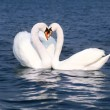 Stock Photo: Swans fall in love