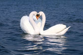 Swans fall in love — Stock fotografie