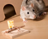 Rat and cheese — Stock Photo