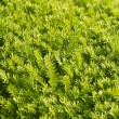 Green needles - Stock Photo