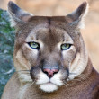 Portrait of the wild cat puma captured in the zoo. — Stock Photo #2175207
