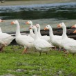 Stock Photo: Goose