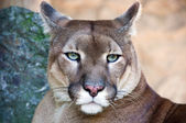 Portrait of the wild cat puma captured in the zoo. — Stock Photo
