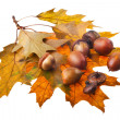 Acorns — Stock Photo #2223863