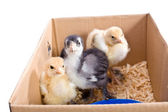 Chicken baby in the box — Stock Photo